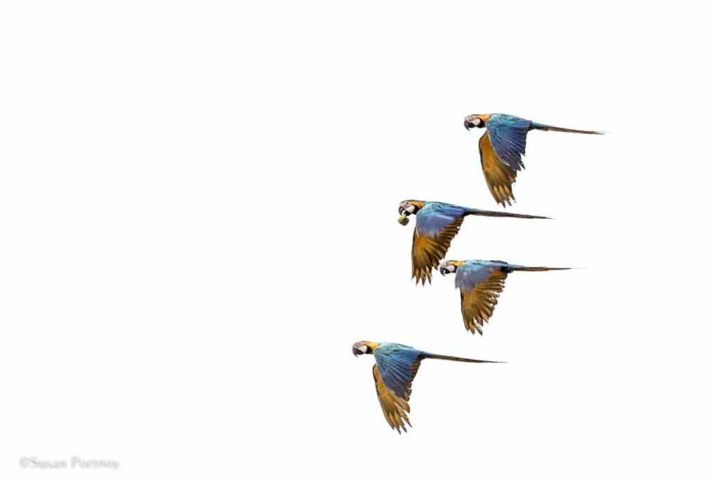 Blue and yellow Macaws flying | Amazon River Cruise Peru -International Expeditions-22