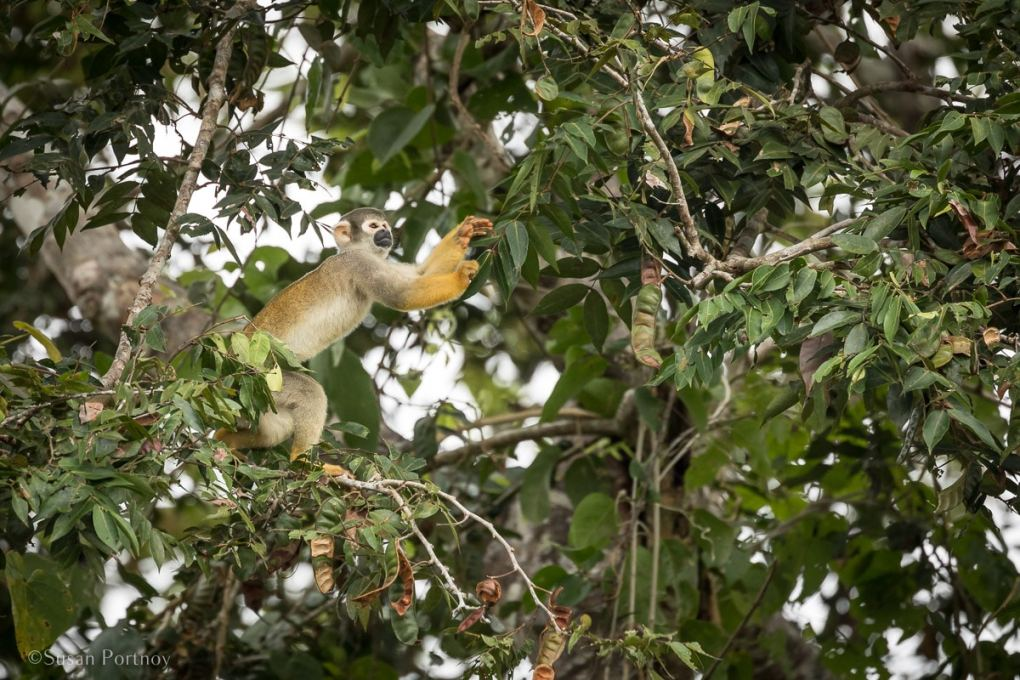 Spider monkey in a tree | Amazon River Cruise Peru -International Expeditions-42