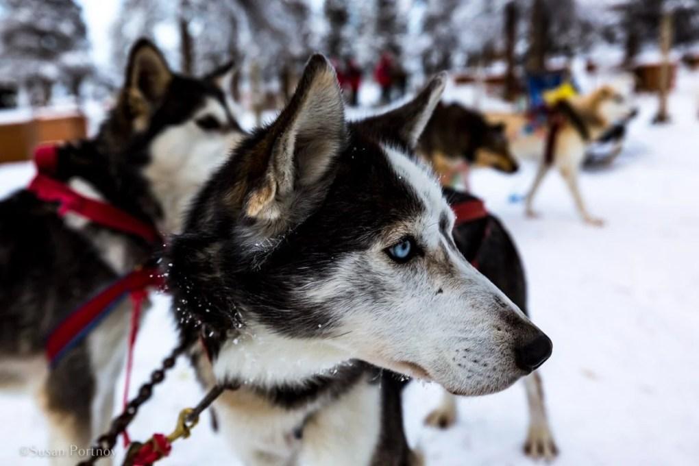 Dog sledding in Canada -- An Alaskan husky sled dog for dog sledding in Whitehorse