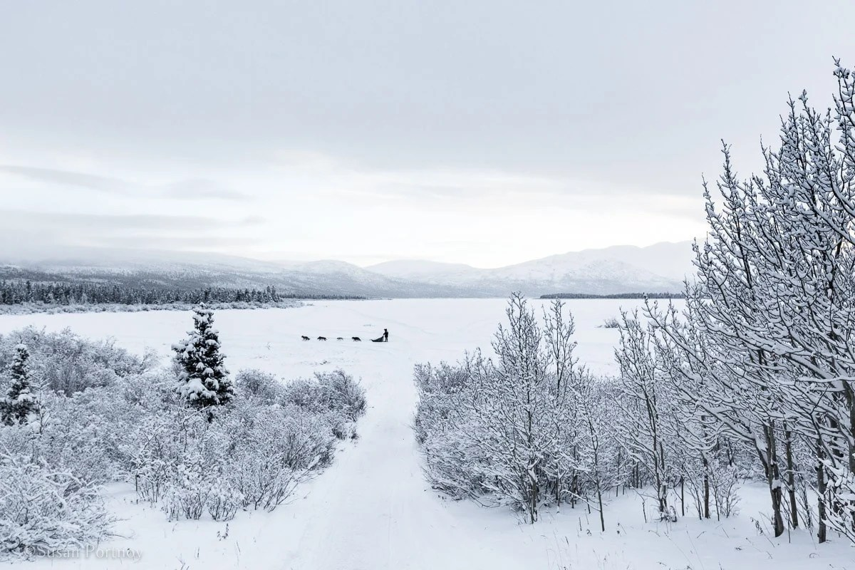 musher dog sledding across a lake in Whitehorse, Yukon