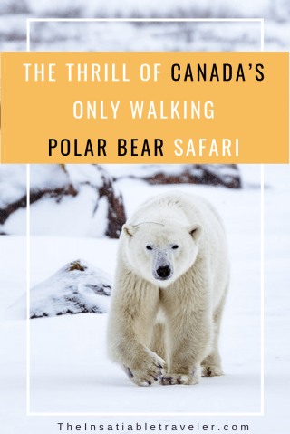 What it's like photographing polar bears, arctic hares, foxes and other wildlife in northern Manitoba on Canada's only walking polar bear safari.