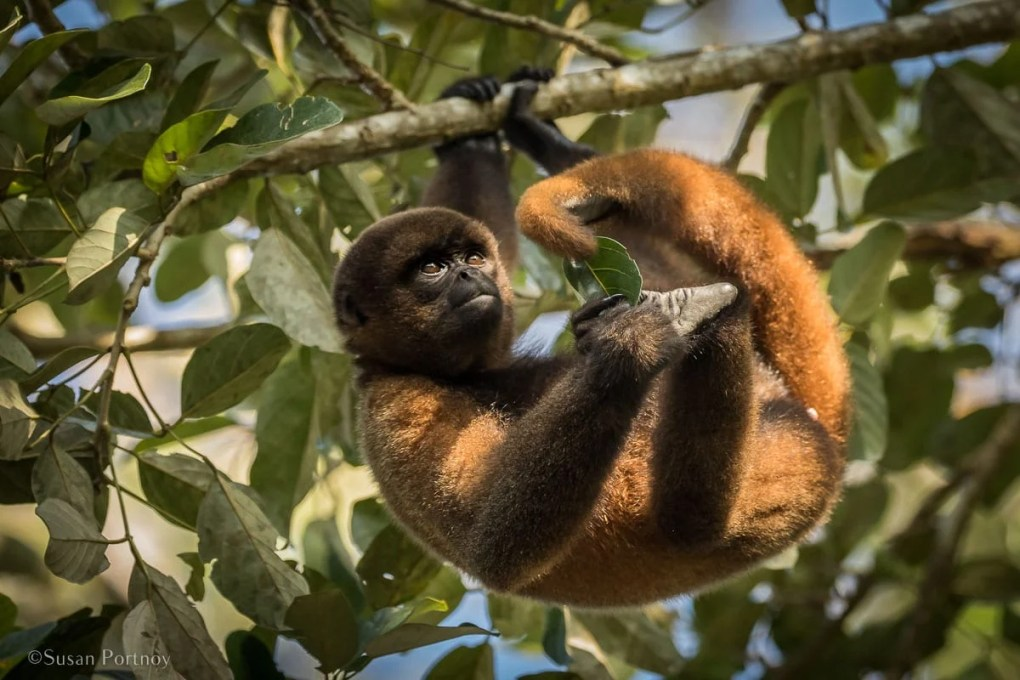 Woolly monkey | Tips for Photographing Amazon Rainforest Animals-0571