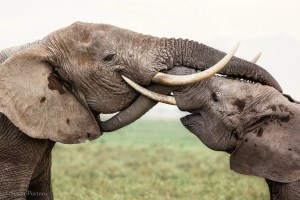 Two elephants -