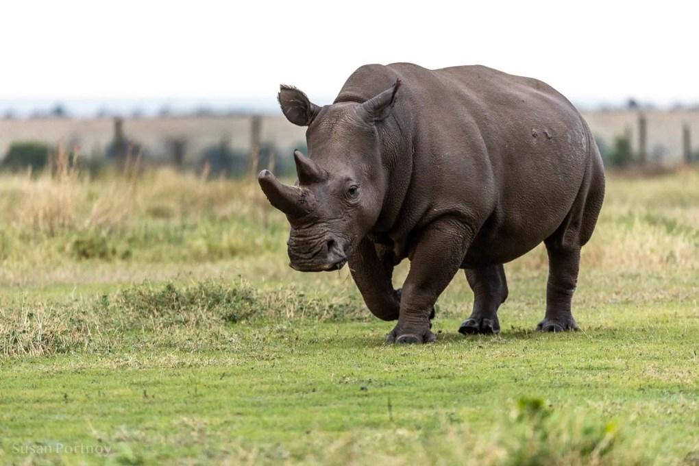 Last Northern White Rhino - Ol Pajeta Conservancy - Southern White Rhino