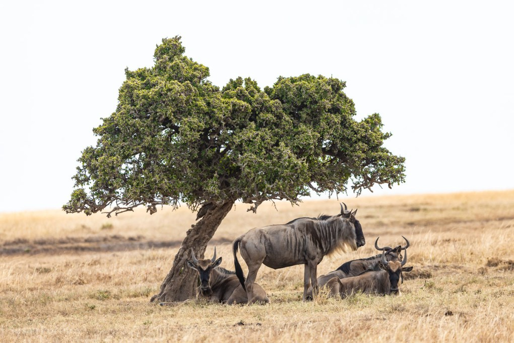 Wildebeest Masai Mara - How to Experience More Beyond Kenya's Big Five -0239