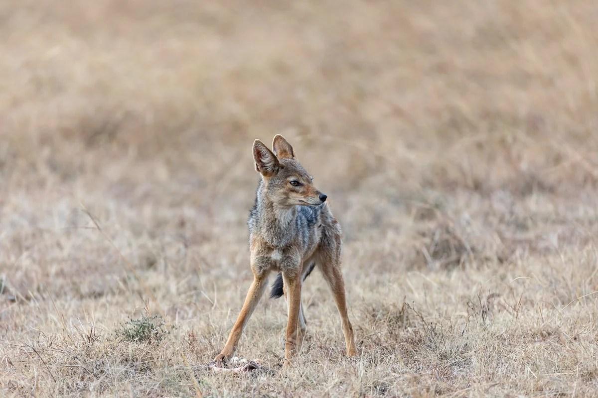 Black-backed jackal Masai Mara - How to Experience More Beyond Kenya's Big Five -0355