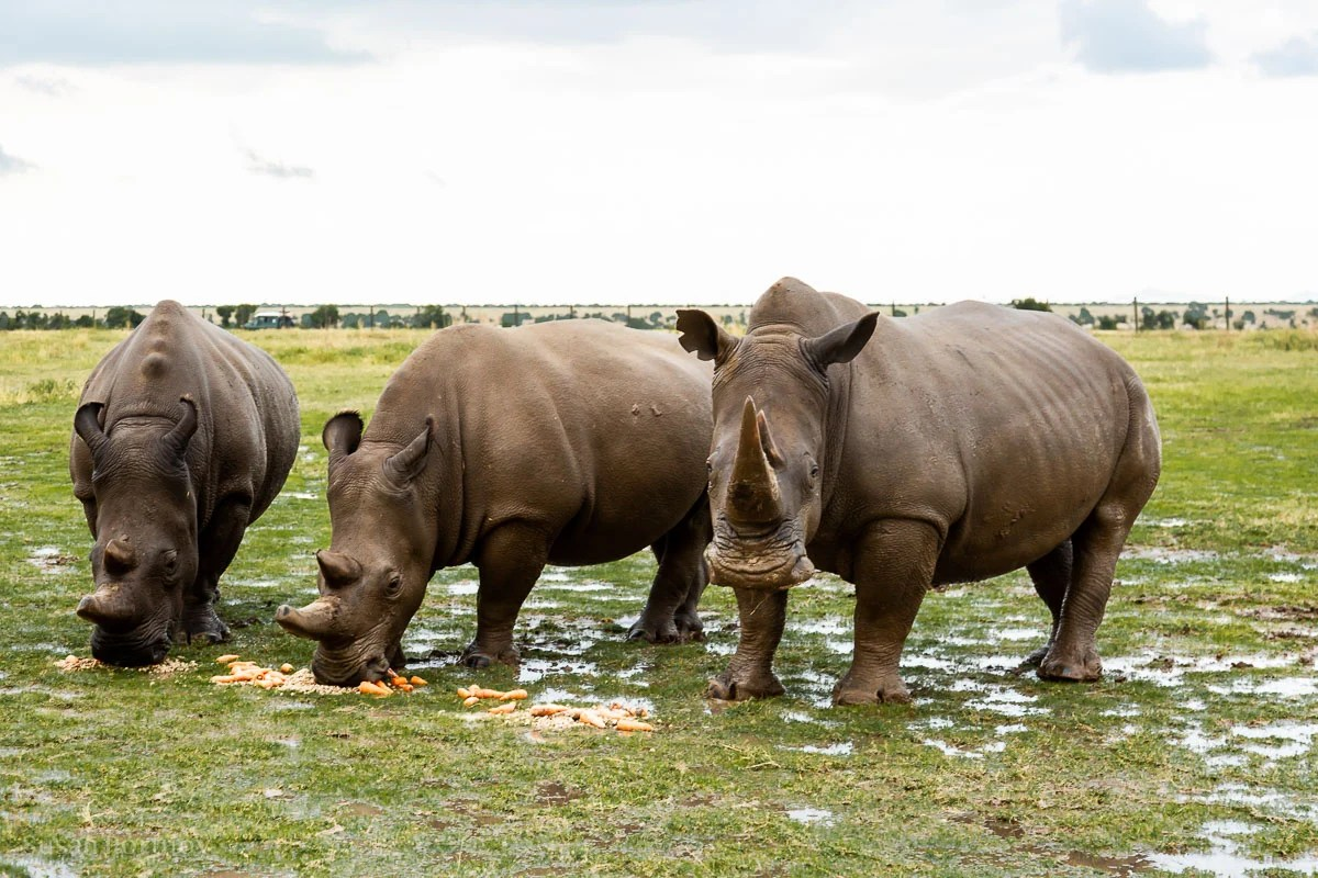 Najin / Fatu Last northern white rhinos on the left - How to Experience More Beyond Kenya's Big Five -7863