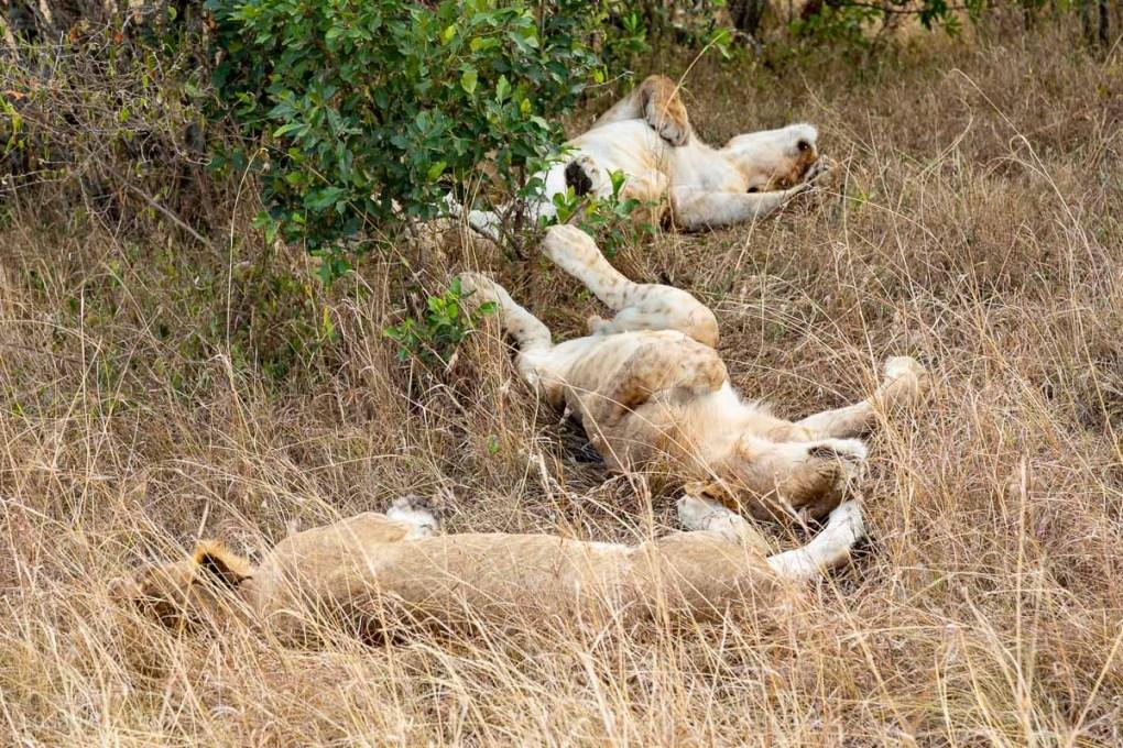 Lions sleeping in Kenya's Masai Mara - How to Experience More Beyond Kenya's Big Five -8032