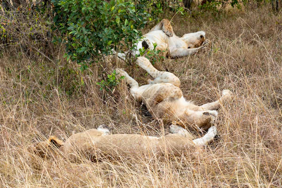 Lions sleeping in Kenya's Masai Mara - How to Experience More Beyond Kenya's Big Five -8032