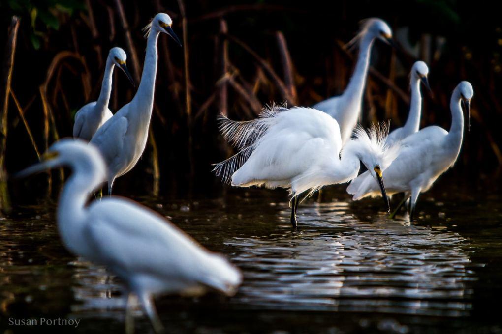 Egrets -Best Guide to the Ding Darling Wildlife Refuge on Sanibel Island