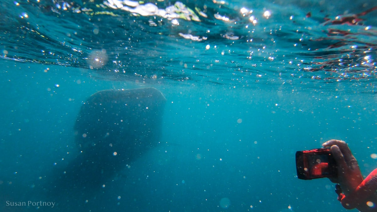 Taking a picture of a whale shark with red camera