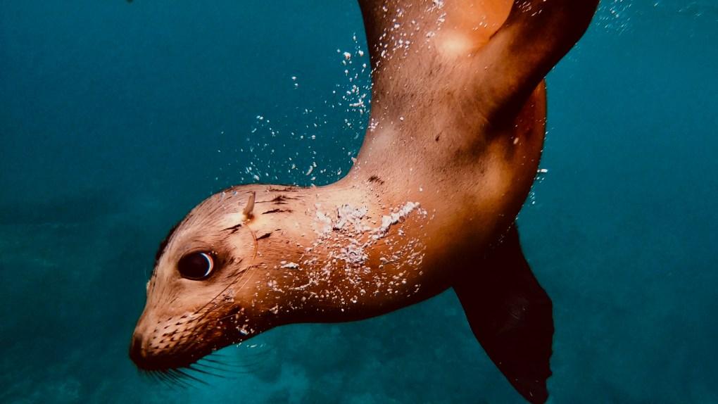 Sea Lions swimming near Isla Espiritu Santos?