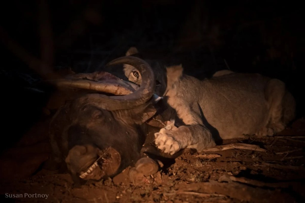 A lion at night feasting on a dead buffalo.