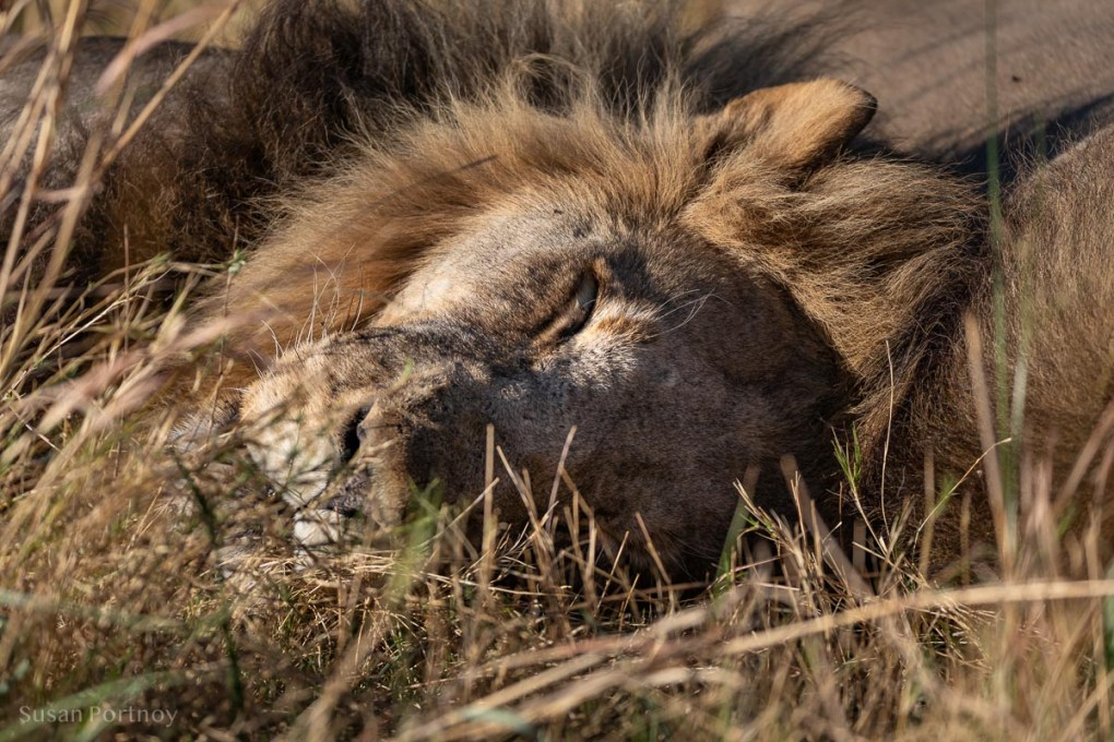 One of two very lazy and sleepy lions - Botswana Safari --untitledSelinda Explorers Camp-0277-3