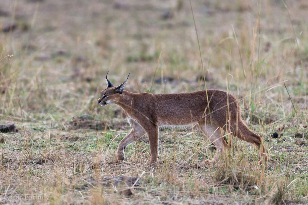 A caracal walking in the grass in the Masai Mara, Kenya