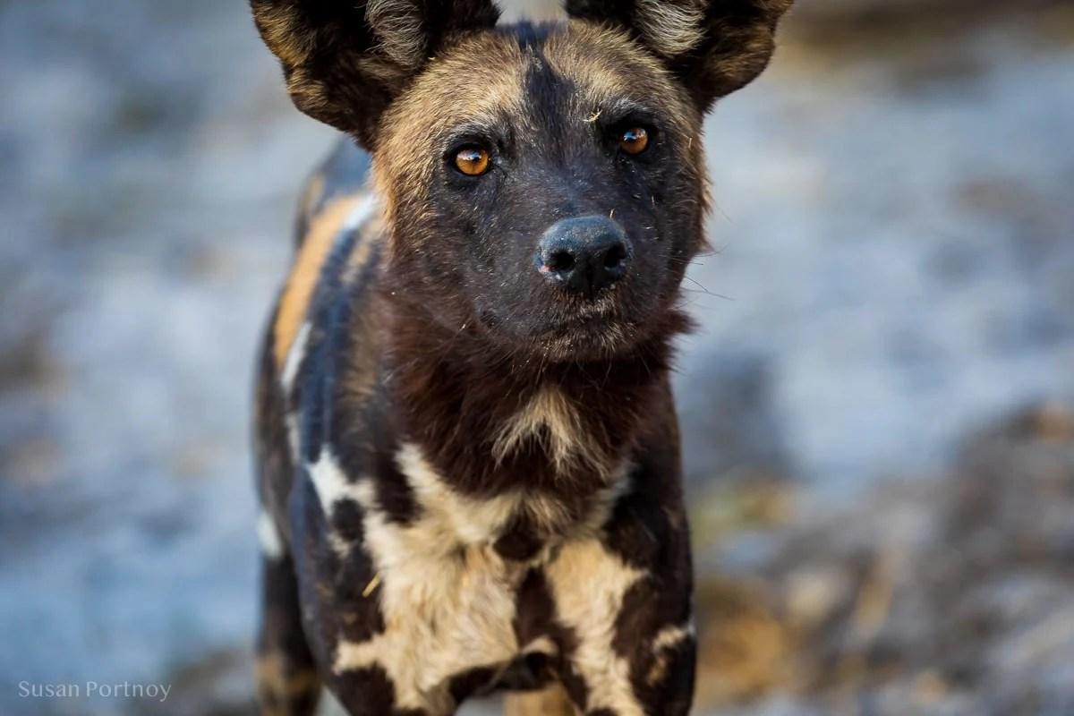 Wild Dog --Botswana Safari --untitledSelinda Explorers Camp-0277-3