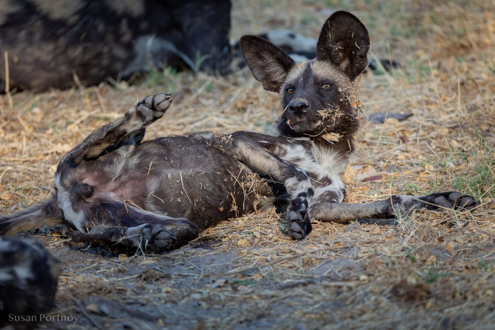 Wild dog looking cute after rolling in the grass