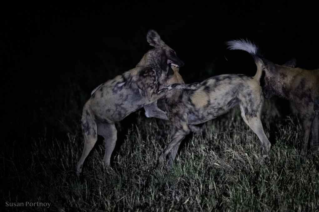 Wild dogs playing at night in Botswana
