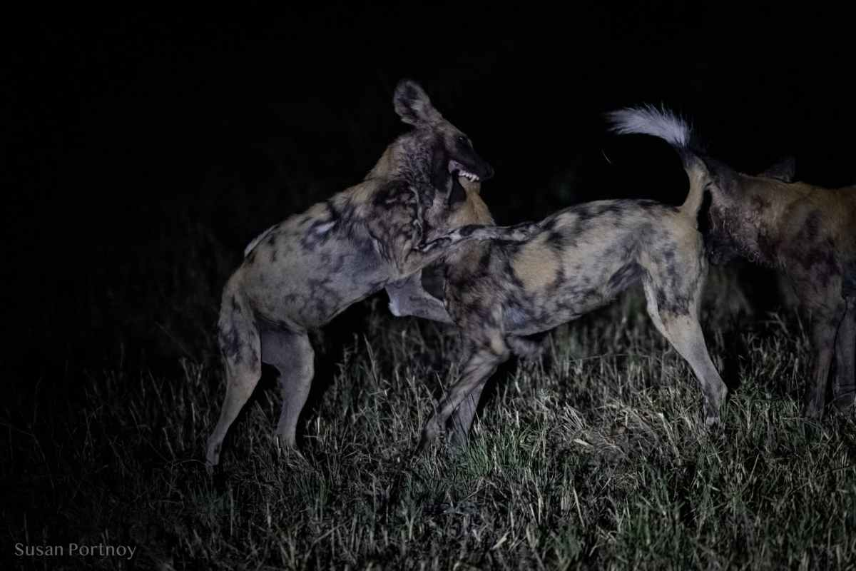 Wild dogs playing at night in Botswana