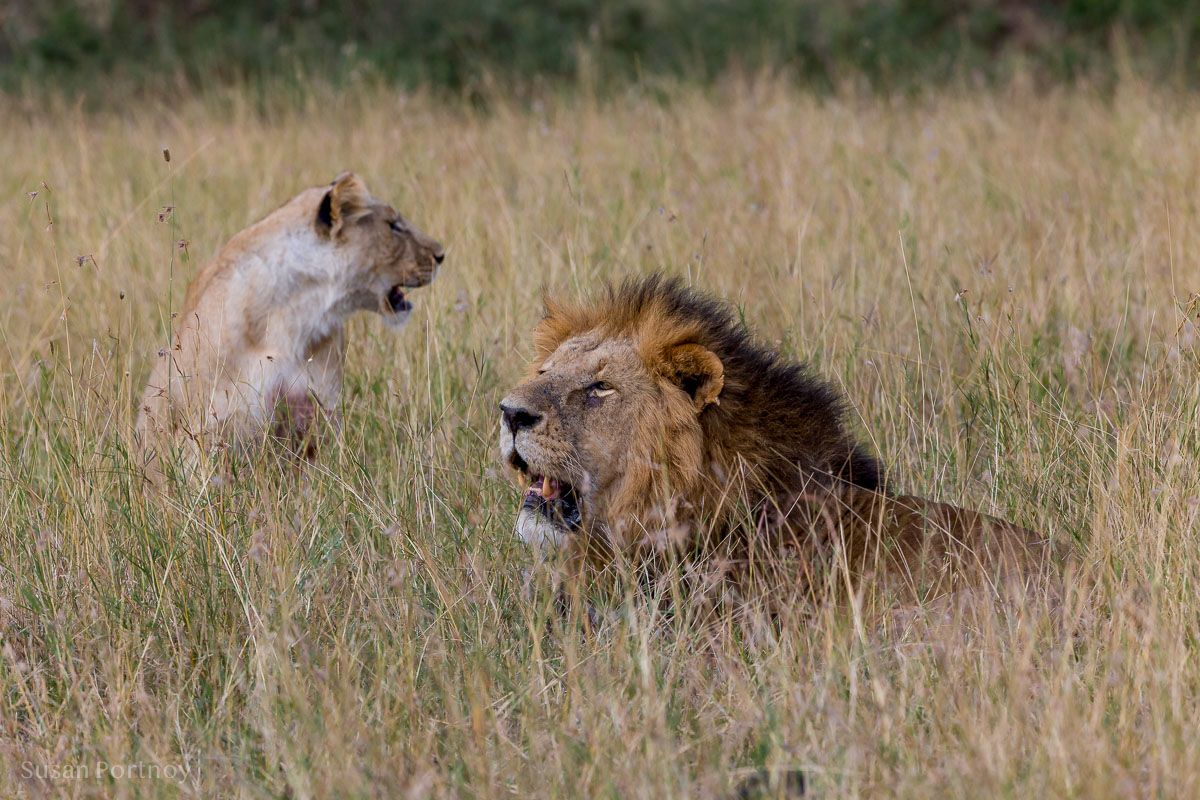 Lion vs Lioness - two lions sitting in the high grass in the Masai Mara