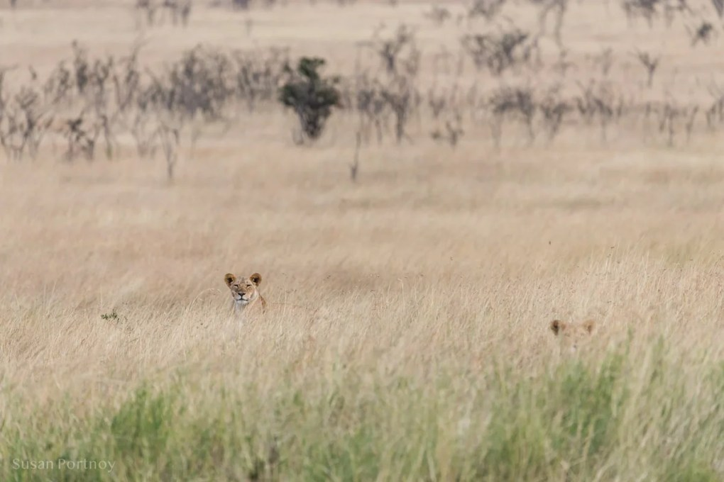 Two female lions heads peek out from the high grass in the Masai Mara, Kenya.-lion Stories