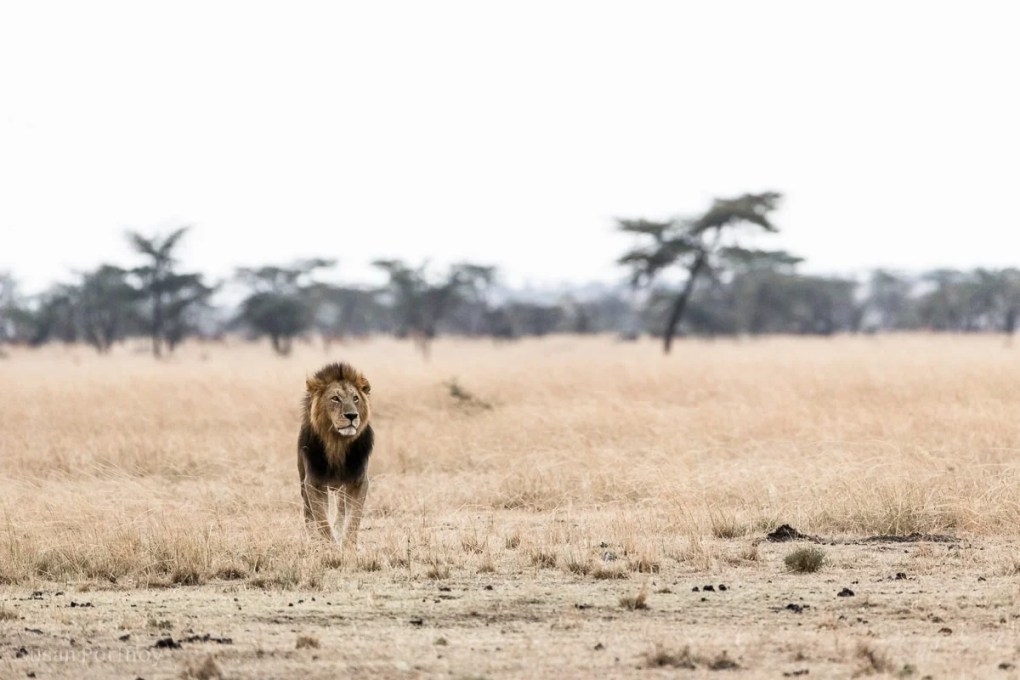 Male lion in the Masai Mara Lion Stories