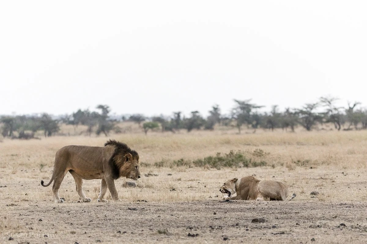 lioness growls at a male lion in the Masai Mara