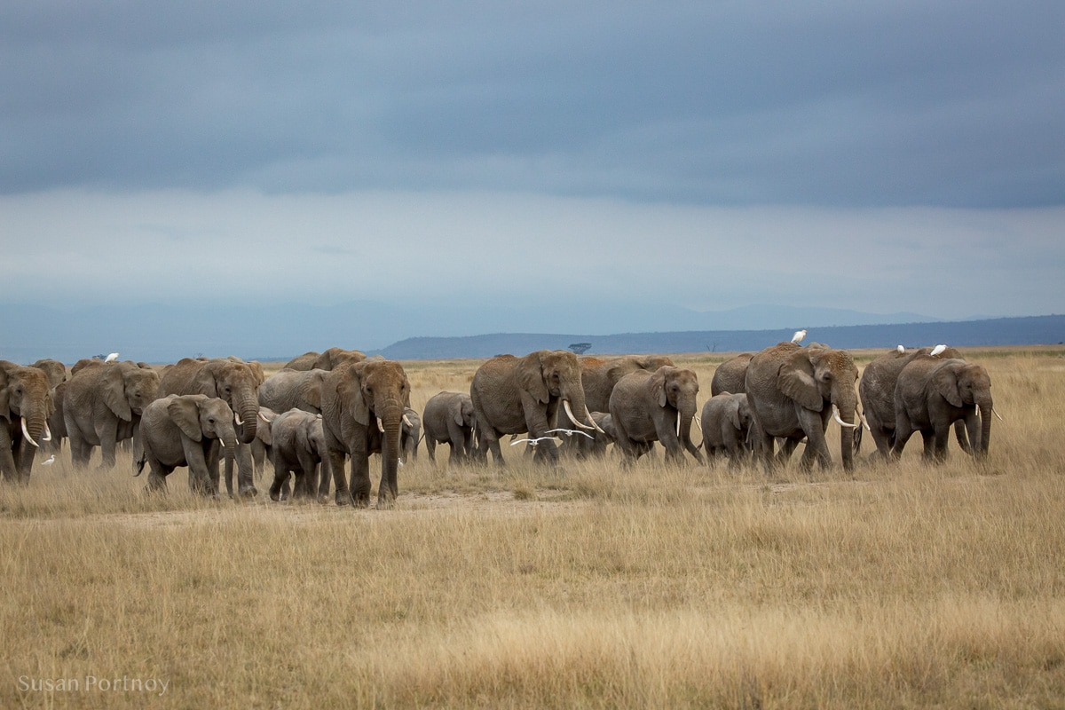 Large herds of elephants walking on the plains