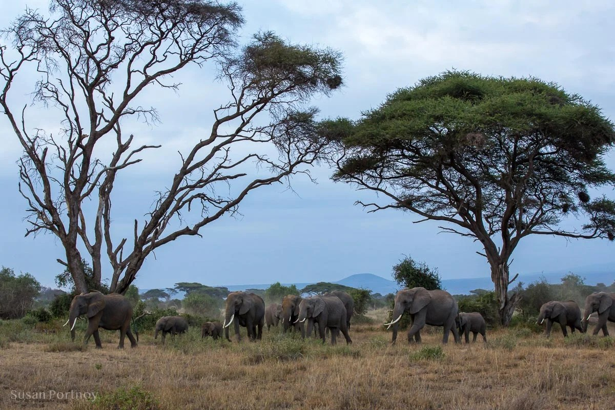 Herd of Elephants walking through an acacia forest