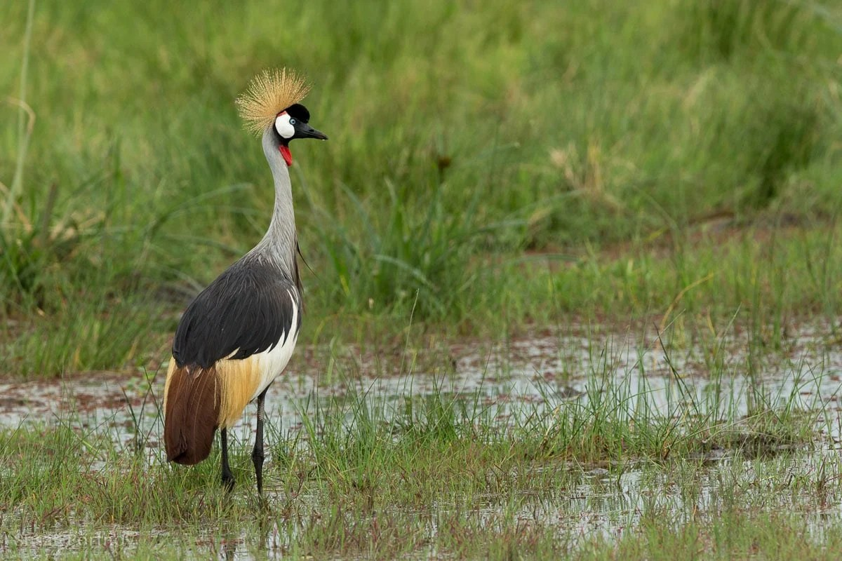 A crowned crane in the water in Amboseli