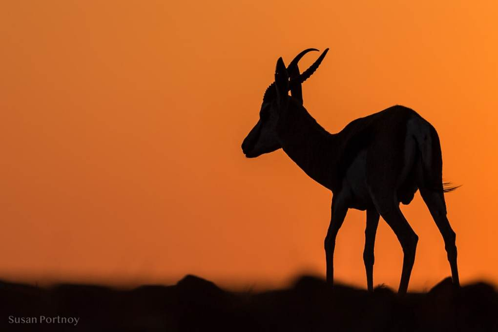 A Springbok silhouetted against the setting sun