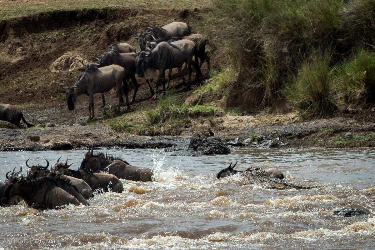 Crocodile bites a wildebeest crossing the Mara River