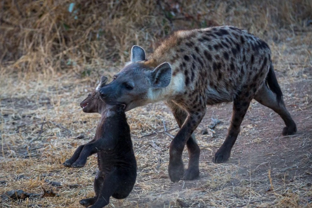 Adult hyena and pup