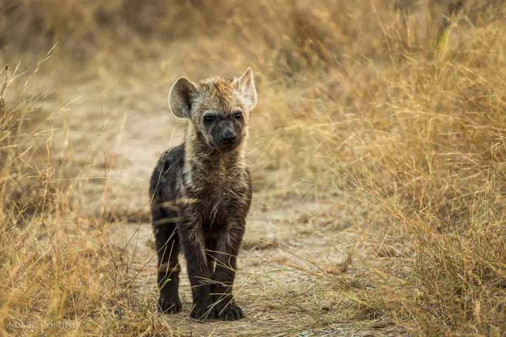Small hyena pup stands in a path in the bush in Timbavati, South Africa