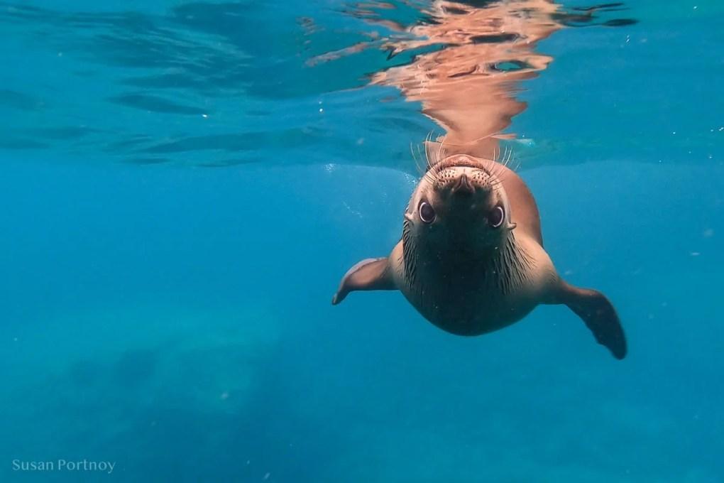 Sea lion swimming near Isla Espiritu Santo