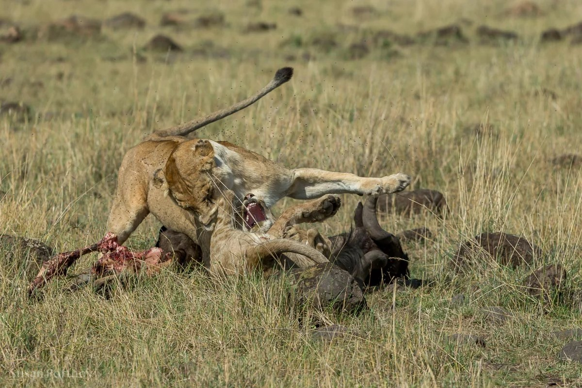 A lioness growls at a cub trying to eat a wildebeest