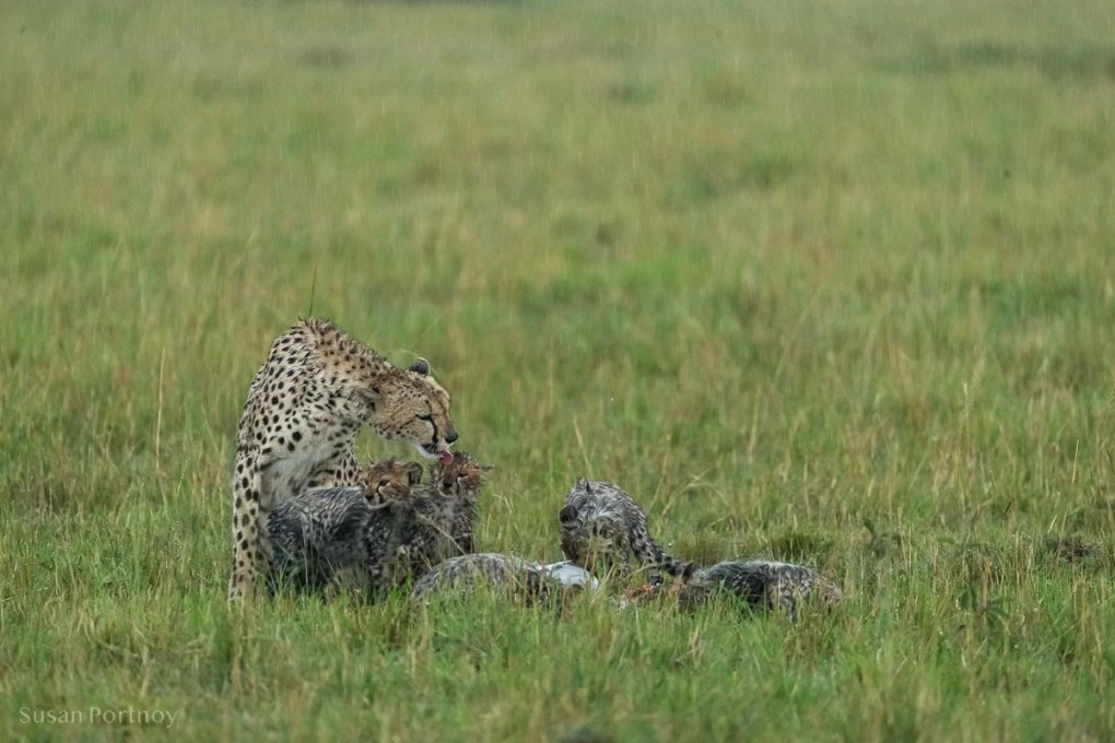 Cheetah mom licking her cub in the rain