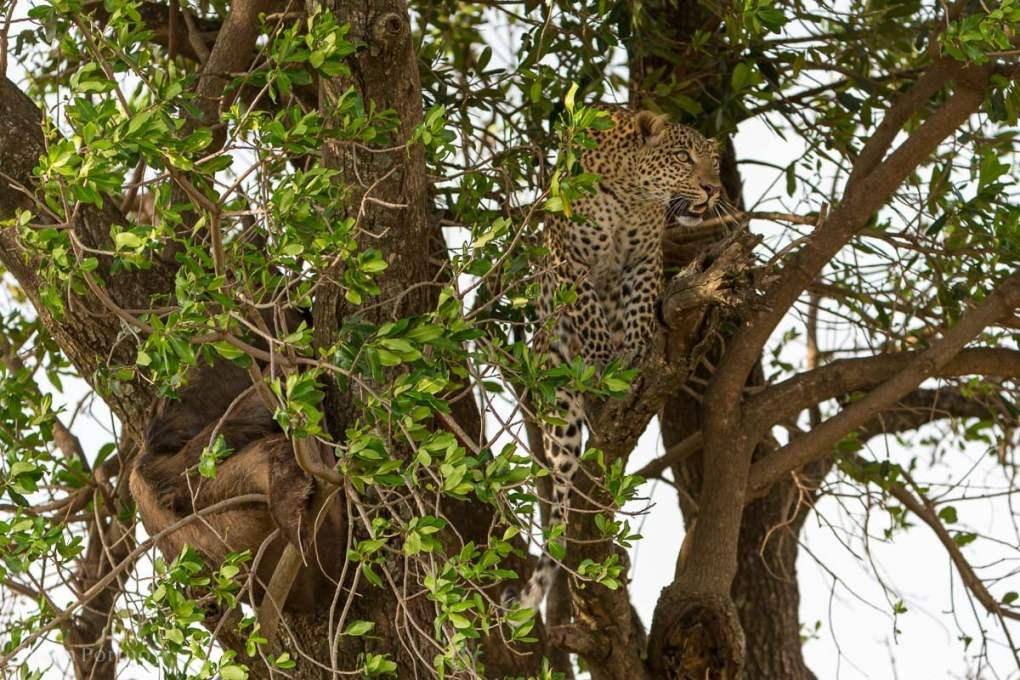 Adult leopard in a tree in Kenya