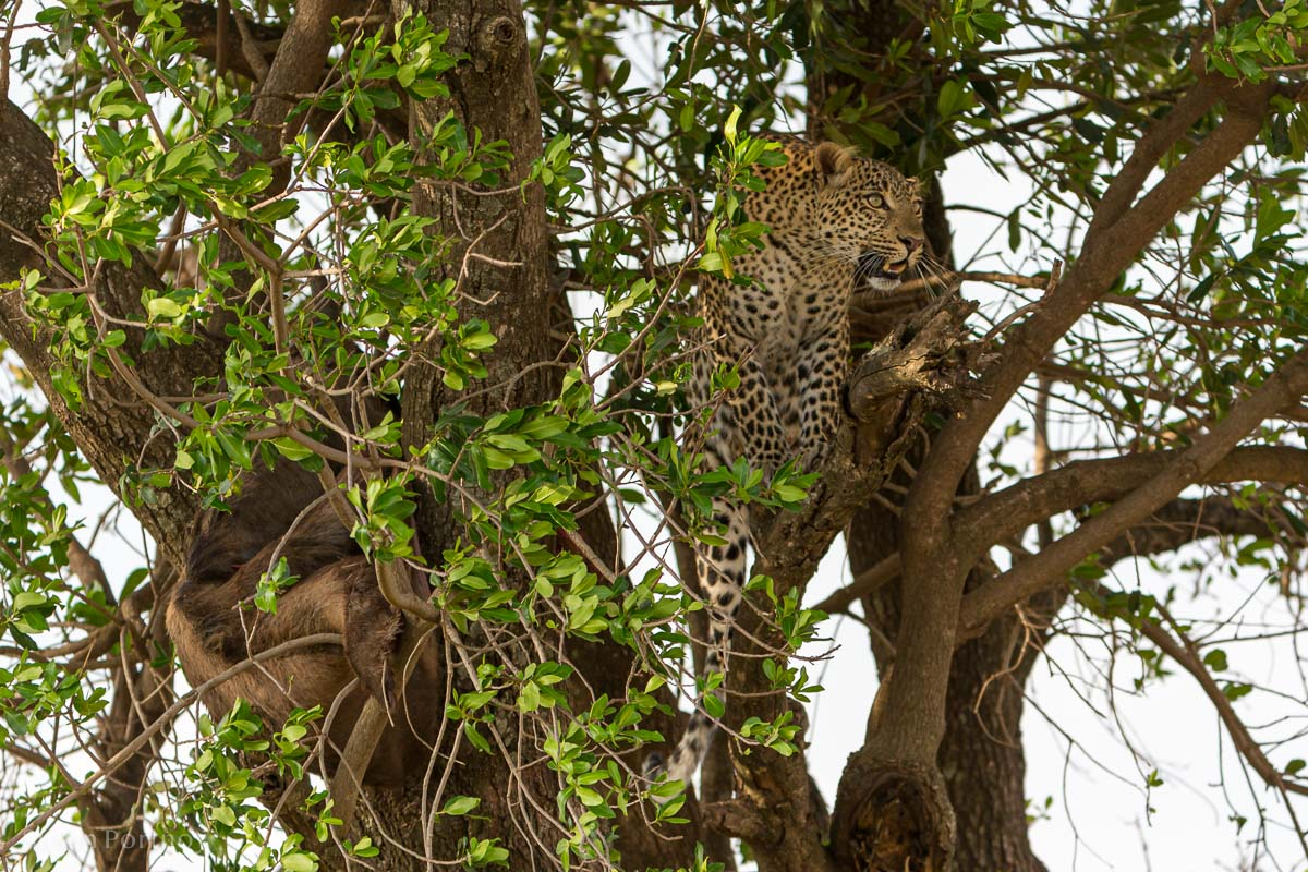 Adult leopard in a tree in Kenya