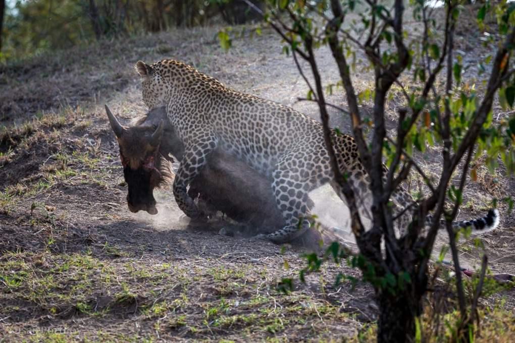 Leopard drags a wildebeest kill in Kenya
