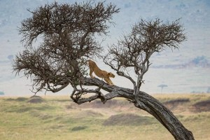 Lion stretching in at tree in the Masai Mara, Kenya, The Insatiable Traveler