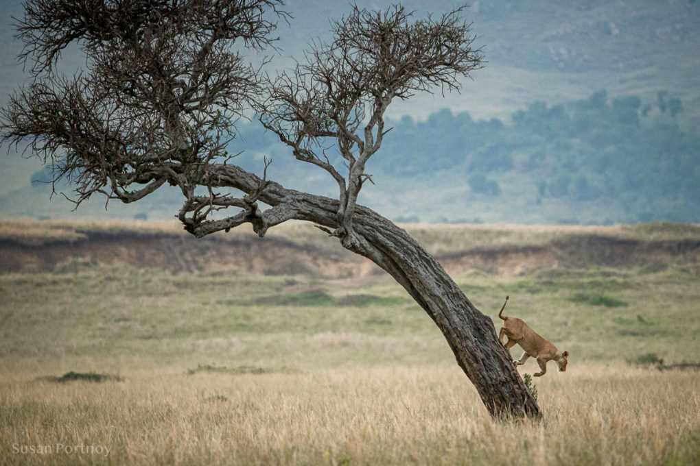 Lion in at tree in the Masai Mara, Kenya, The insatiable Traveler