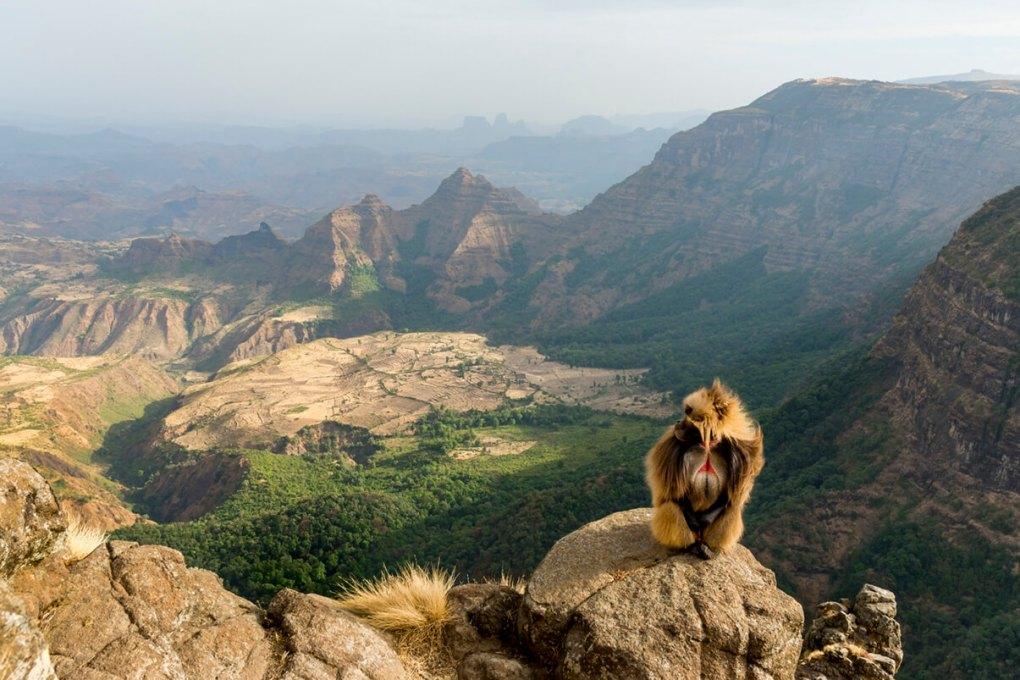 Ape in Ethiopia