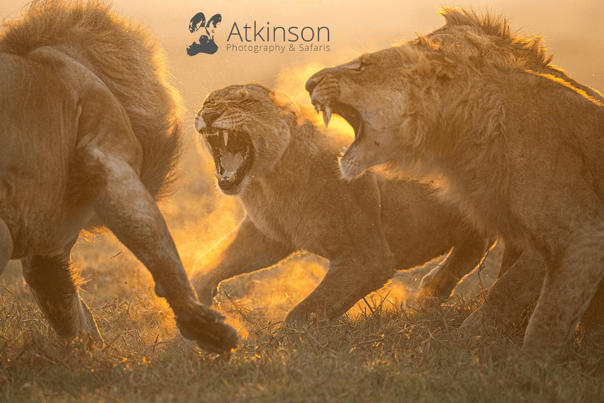 Atkinson Photography and Safaris - lions fighting on an African Photo Safari