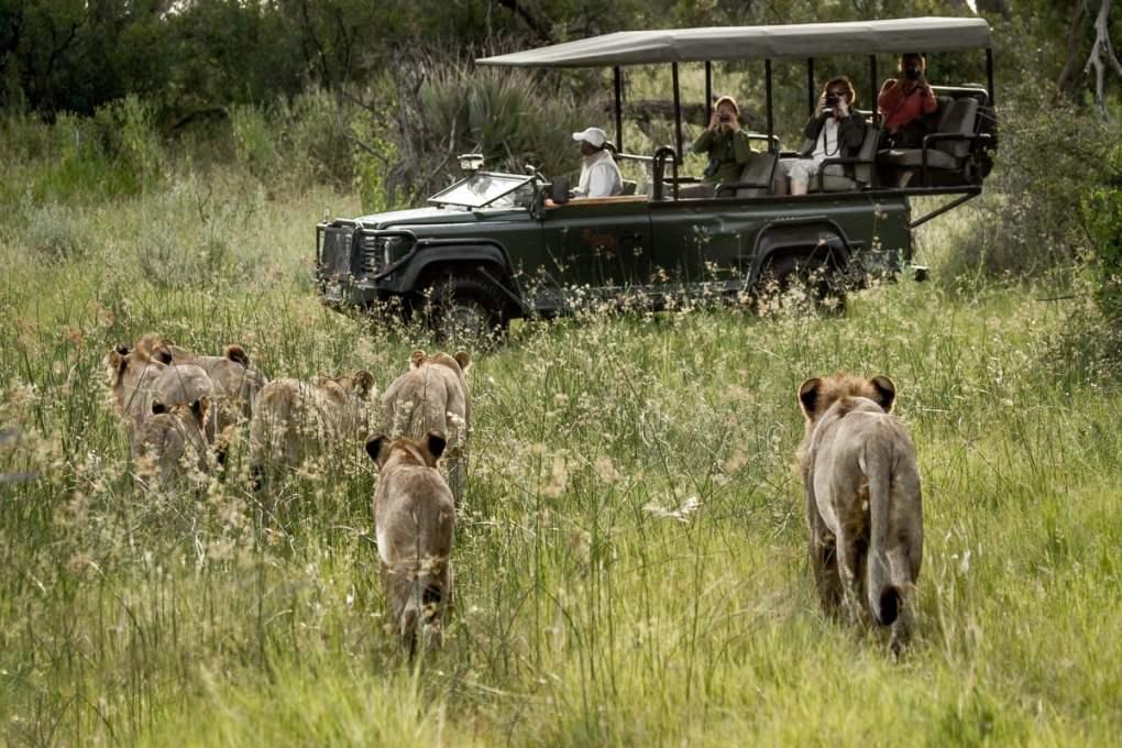 Lions walking toward a vehicle in Botswana safari