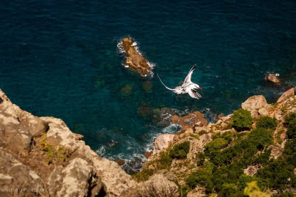 A red-billed tropicbird flies to its nest amongst the cliffs of Saba Island