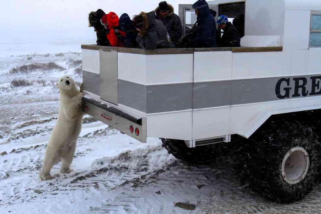 A polar bear checks out the Natural Habitat Adventure's Polar Rover