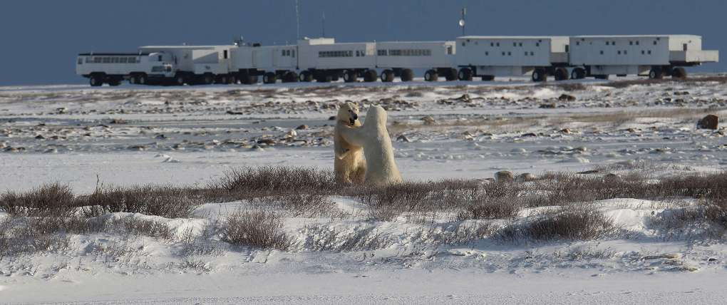 Polar Bears playing in front of Frontiers North's Tundra Buggy Lodge