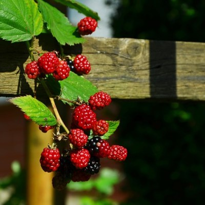 THE BLACKBERRY; THE BEST FRUIT OF THE EARTH – DAY 3 OF 365 DAYS TO A HEALTHIER LIFESTYLE – AN APPLE A DAY