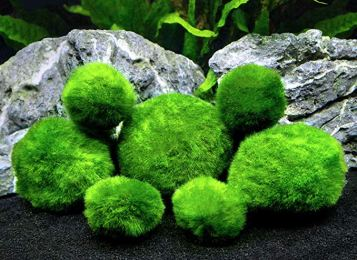 6 Marimo Moss Ball Variety Pack - 4 Different Sizes of Premium Quality Marimo from Giant 2.5 Inch to Small 1 Inch - World's Easiest Live Aquarium Plant